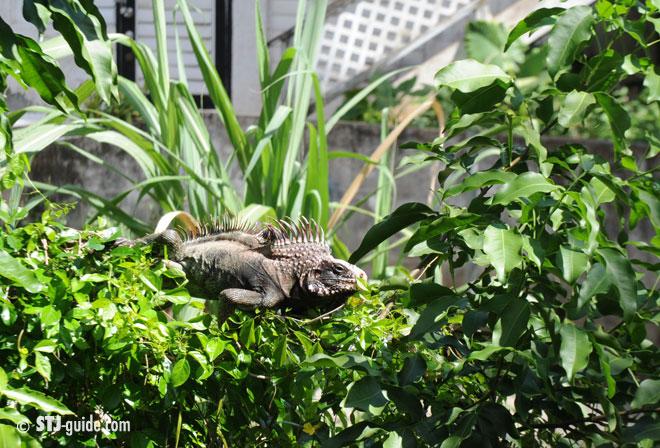 iguanas-on-stjohn-usvi